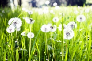 Field-of-Dandelions-FDP
