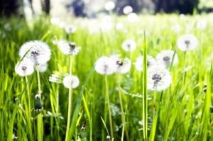 Field-of-Dandelions-FDP