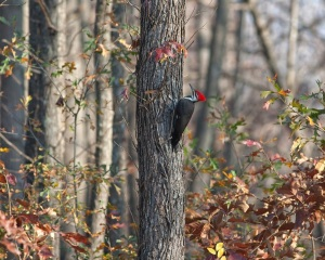 Pileated-Woodpecker_101120_7729